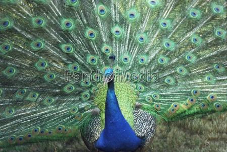 azul passaro animais passaros pele espalhar