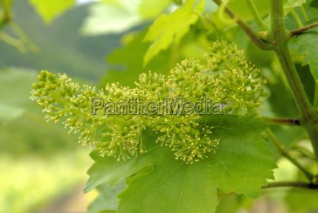 austria viticultura vinicultor umbela arvore de