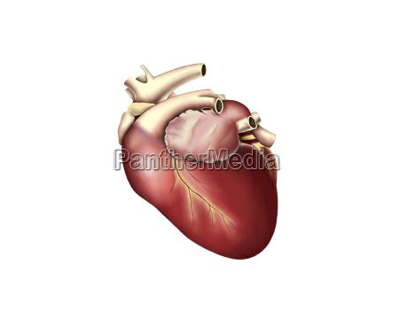 illustration of human heart