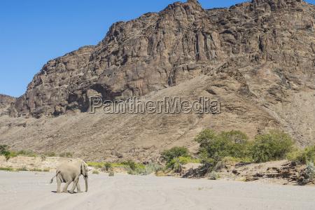 desert elephant african bush elephant loxodonta